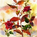 roses-et-aster-aquarelle-Francoise-Dubourg